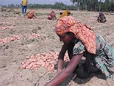 Farmers gathering fresh potatoes from the field